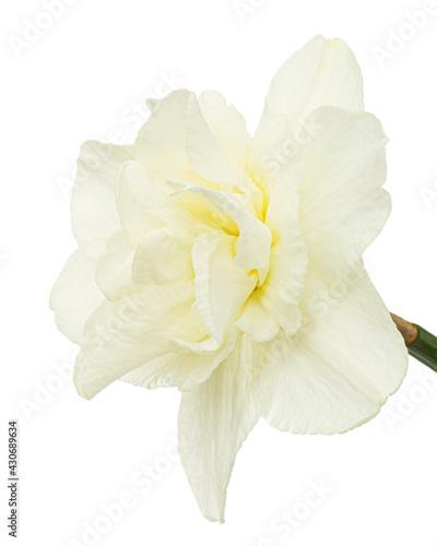 Fototapeta Light-creamy daffodil flower, flower of narcissus, isolated on white background