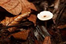White Edible Mushroom Growing In Dry Leaves . Autumn In The Forest