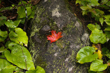Single Red Leaf Sitting On A Rock Surrounded By Green Leaves That Are Wet Just After Rain