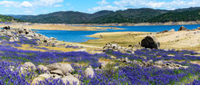 Panoramic Scenic View. Purple Fields Of Wildflower Lupines Super Bloom On The Scenic Shore Of Drained Folsom Lake, California