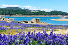 Wildflower Lupines Super Bloom Purple Fields On The Scenic Shore Of Drained Folsom Lake, California. Focus On The Lower Row Of Lupines. Blurred Background