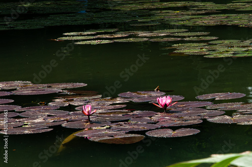 Photo pink water lilies