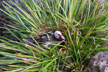 White And Black Duck With Red Head, The Muscovy Duck, Sits In Nest, The Muscovy Duck, Lat. Cairina Moschata