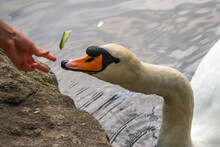 Girl Feeding A Mute Swan In A Lake From Hand.