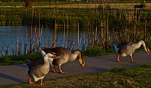 Tame Geese Feeding At South East City Park Public Fishing Lake, Canyon, Texas.