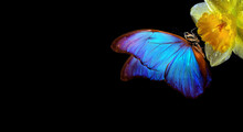 Colorful Blue Tropical Morpho Butterfly On Yellow Daffodil Flower Isolated On Black