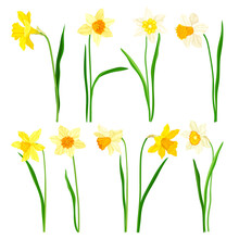 Narcissus As Spring Flowering Perennial Plant With White And Yellow Flowers And Leafless Flower Stem Vector Set