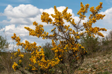 Thorny Gorse Shrub With Yellow Flowers In Spring. Genista Scorpius.