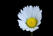 Tiny Common Daisy Flower With White Petals, Close Up. Known Medicinal Plant. Isolated On Black Background. Genus Bellis Perennis.