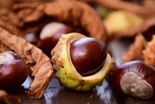 Horse Chestnut And Chestnuts
