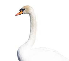 White Swan Portrait Isolated On White Background.