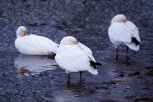 Selective Focus View Of Snow Goose Standing In Shallow Water Resting On The Shore Of The St. Lawrence River With Other Animals In Soft Focus Background, Cap-Rouge Area, Quebec City, Quebec