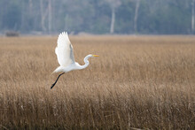 Selective Focus Of A Great Egret Flying Over Dried Grass In A Wetland