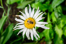 Close Up Of One Large White Leucanthemum Vulgare Flower Known As Ox - Eye Daisy, Oxeye Daisy Or Dog Daisy In A Sunny Summer Garden, Fresh Natural Outdoor And Floral Background.