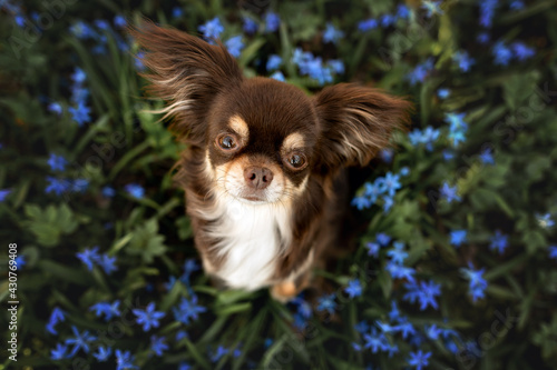 Obraz beautiful brown chihuahua dog sitting outdoors on a snowdrops flowers field, top view - fototapety do salonu
