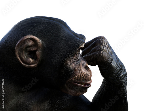 Photo Illustration of a chimpanzee with a clenched hand to his face on a white backgro