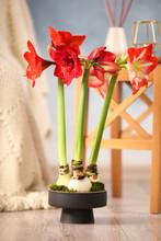 Beautiful Red Amaryllis Flowers On Floor In Room