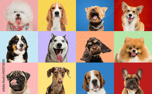 Fototapeta Art collage made of funny dogs different breeds on multicolored studio background. obraz
