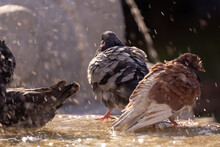 Pigeons Bathing In The Fountain