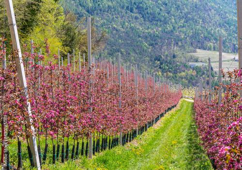 Wallpaper Mural Blossom apple tree branch of Redlove apple in the spring