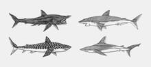 Great White Shark And Tiger Basking Atlantic Bull Shark Or Mackerel Porbeagle Predator. Marine Animal. Sea Life. Hand Drawn Vintage Sketch. Ocean Fish. Vector Illustration For Web, Logo Or T-shirt.