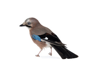 beautiful jay isolated on white background