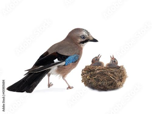 Obraz jay near its nest on a white background - fototapety do salonu