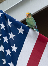 Lovebird Parrot With Green, Yellow, And Orange Coloring Is Perched On Top Of A Red, White, And Blue American Flag.