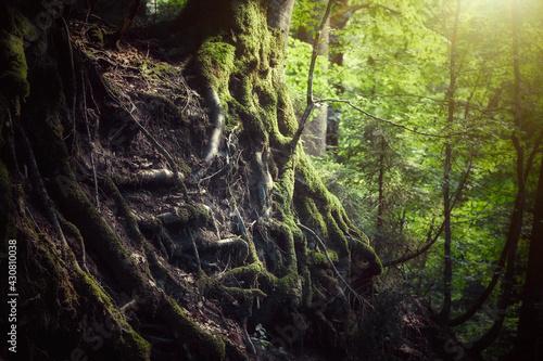 Obraz na plátně Steiler Hang im Wald mit vielen, offenliegenden Baumwurzeln