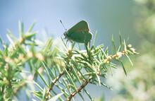 Happy Springtime Scene With Green Hairstreak Butterfly In A Evergreen Forest On A Juniper Bush, Tirol, Austria