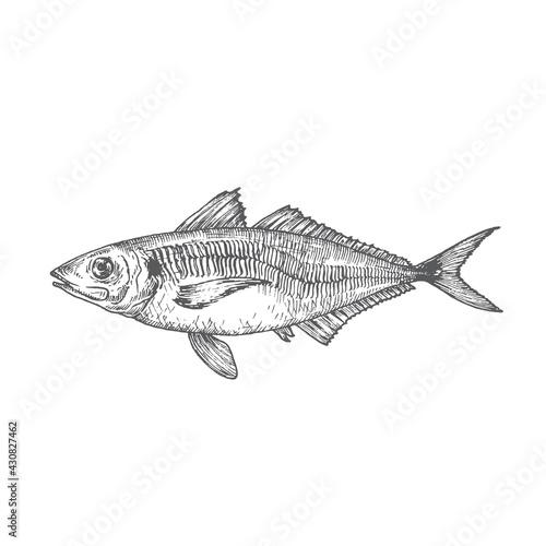 Fototapeta Wild Atlantic Scad Hand Drawn Doodle Vector Illustration