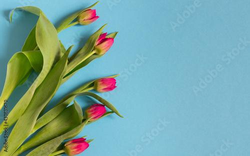 Naklejka premium Różowe tulipany na niebieskim tle