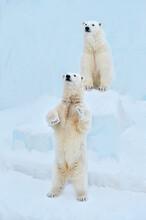 Polar Bear In The Snow