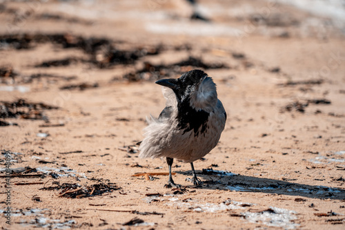 Fototapeta premium black-and-gray raven stands on a sandy shore