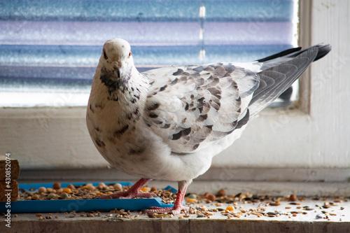 Obraz Biały oswojony gołąb  - fototapety do salonu