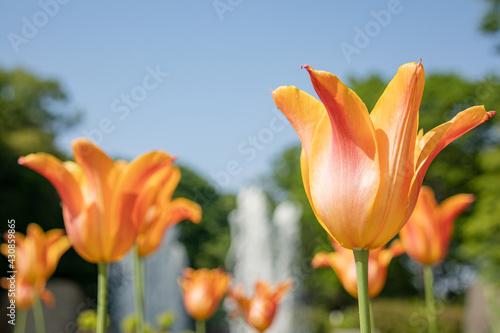 Fototapeta 晴れた日のオレンジ色のチューリップ