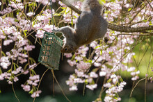 Squirrel Surrounded By Pink Flowers Reaching For Bird Feeder