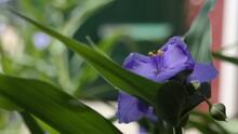 Indigo Spiderwort Flower Bloom.