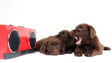 Three Cute Chocolate Labrador Retriever Puppies Listen To A Bedtime Story Or Music From A Vintage Tape Recorder.  Isolated  On White Background, 16:9 Wide Image.