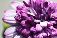 Macro Of A Purple African Daisy Flower In Bloom