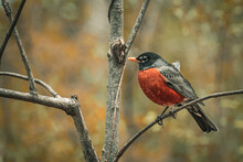 Closeup Of An American Robin Perched On A Tree Branch In A Field With A Blurry Background
