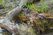 A Barred Owl Holds A Fish After Catching It In A Creek In The Chickasaw State Park In Oklahoma In Spring