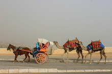Traditional Horse Drawn Cart With Two Camels Following On Busy Road Near Giza, Egypt