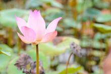 A Blooming Pink Lotus