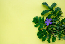On A Yellow Background, The Leaves Of Green Grass Lapchatki And A Blue Flower Of Meadow Geranium