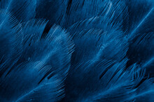 Macro Photo Of Violet Hen Feathers. Background Or Textura