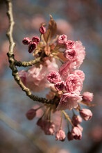 Closeup Of Pink Cherry Blossom Branch In Spring