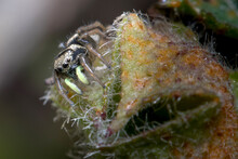 Heliophanus Sp Spider Posed On A Plant Looking For Preys. High Quality Photo