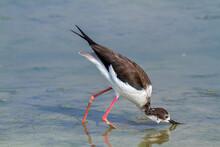 Black Wingerd Stilt  Swamp Birds European Ponds And Lakes