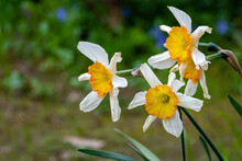 Close-up Of Beautiful White Petals Of Delicate Daffodil Flowers Against Blurred Background Of Evergreens. Selective Focus. Perianth Of Six Delicate White Petals Surrounds Yellow Bell-shaped Crown.
